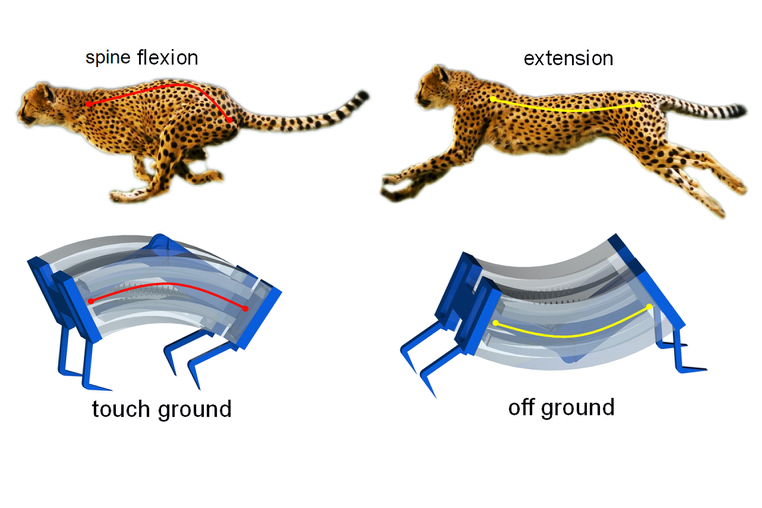 An illustration depicting how the LEAP robot is inspired by the cheetah's running style