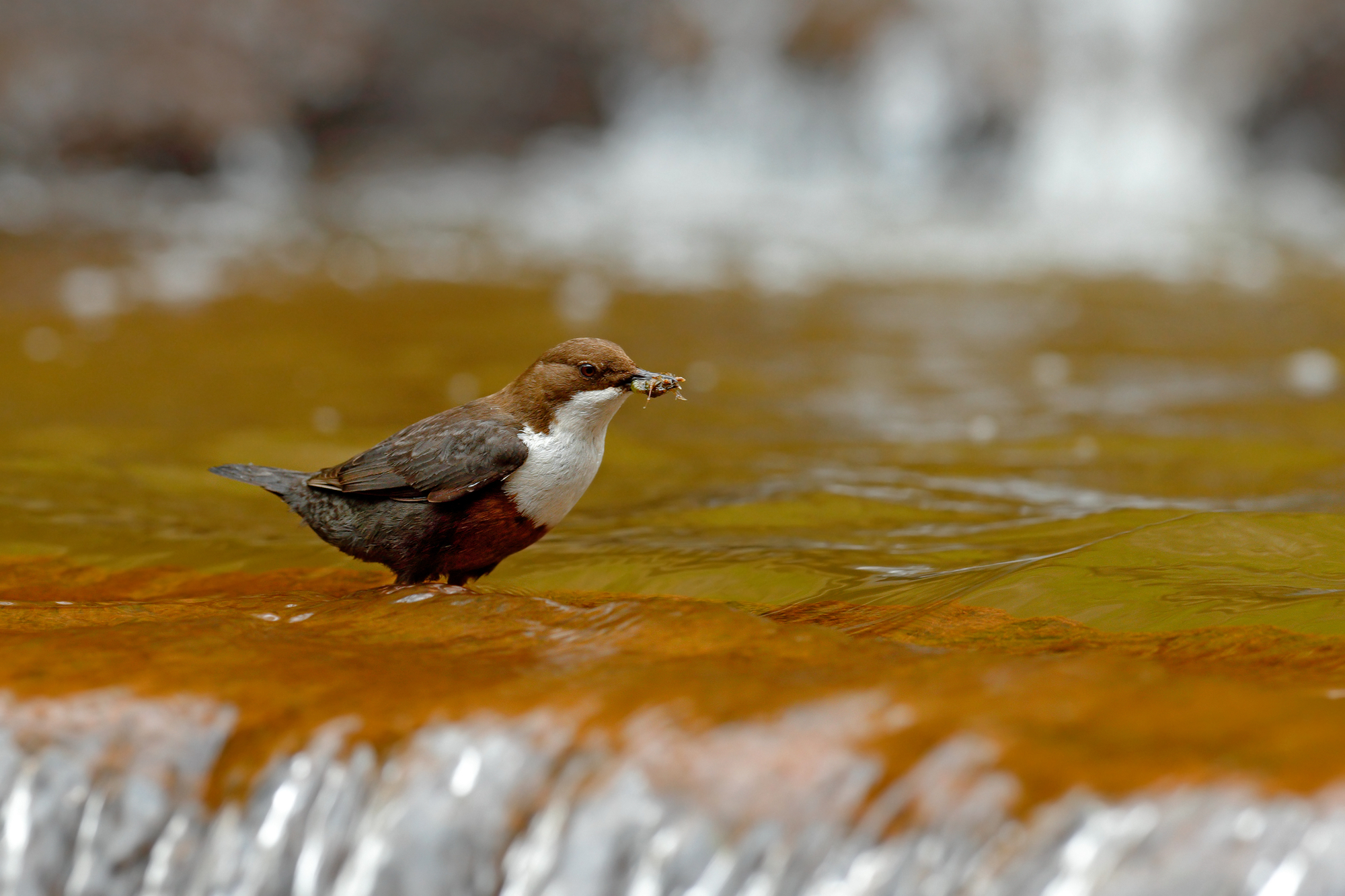 Through the discovery of plastic fragments in the feces and regurgitated food of dippers, scientists have found what they say is the first evidence of river microplastics traveling up the food chain