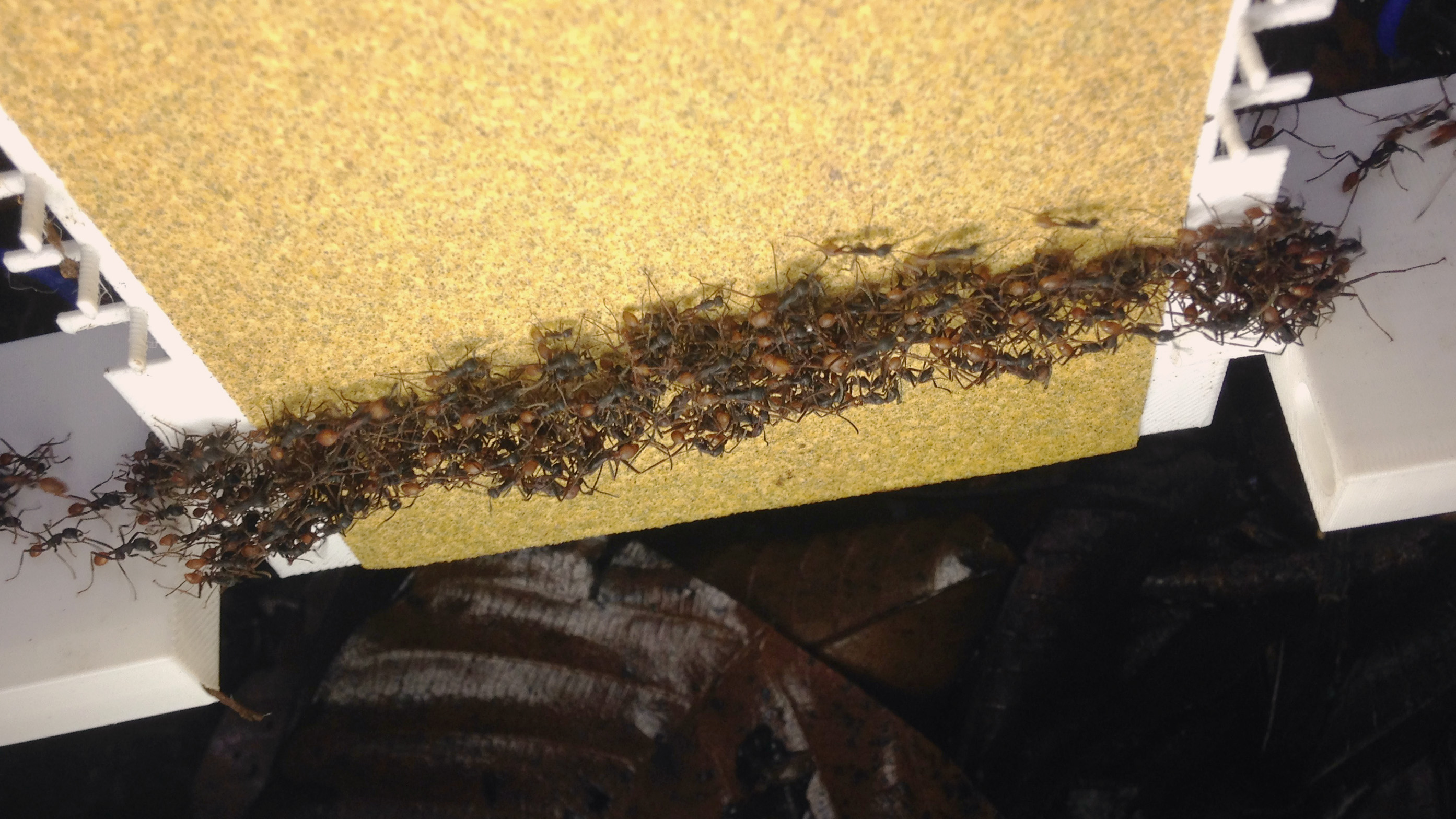 Army ants forming a scaffold megastructure to cross a vertical surface