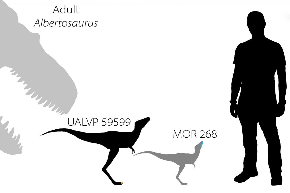 The relative sizes of an adult Albertosaurus tyrannosaur, two tyrannosaur babies (as determined by their fossilized remains), and lead scientist Dr. Greg Funston