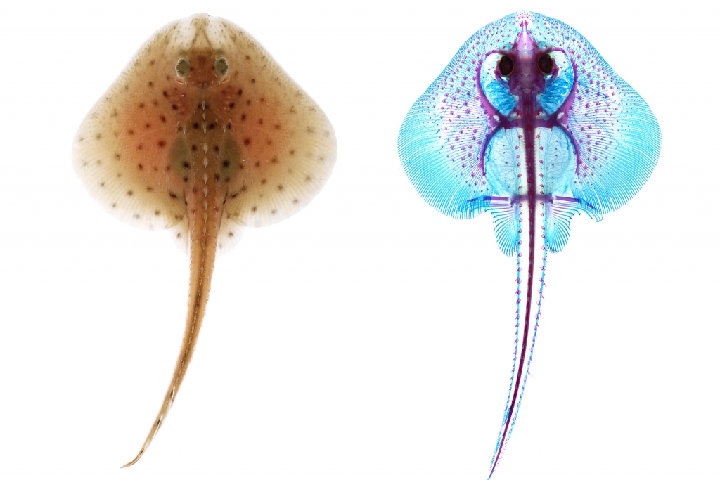 The study was conducted on embryonic skates, at the Marine Biological Laboratory in Woods Hole, Massachusetts