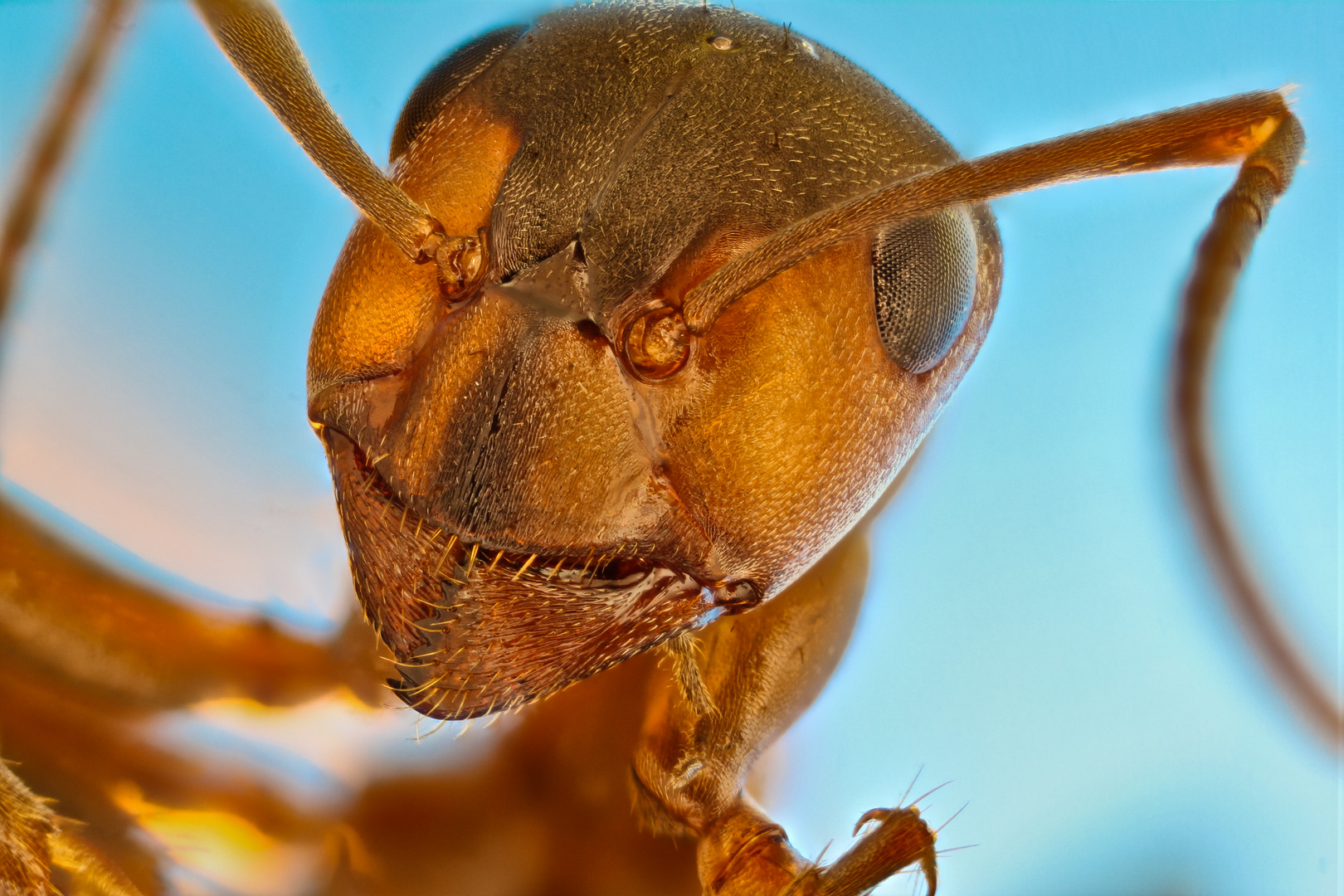 Honorable Mention. Red forest ant (Formica rufa). Image Stacking. 5X (Objective Lens Magnification)