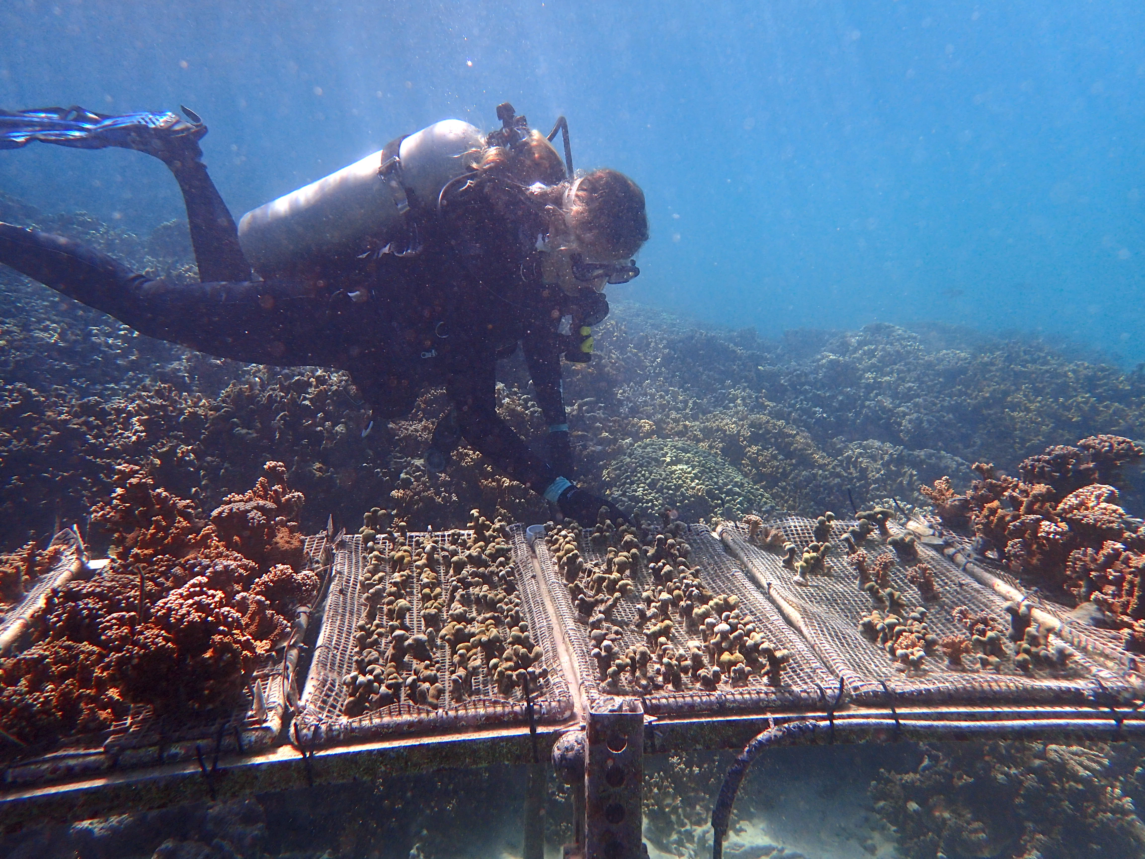 University of Pennsylvania Katie Barott carried out experiments on transplanted heat-resistant coral in Hawaii
