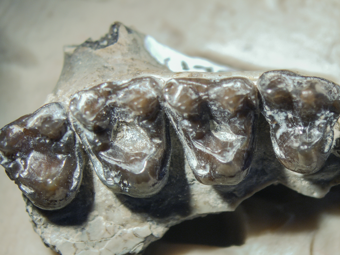 Scientists have discovered cavities in the teeth of primates that walked the Earth around 54 million years ago