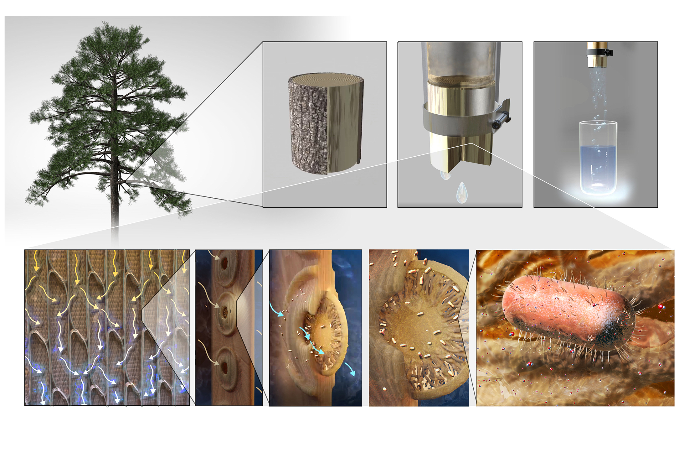 Xylem in sapwood can be used for water filtration (top) – it is made up of conduits that are interconnected by membranes which filter out contaminants such as bacteria (bottom)