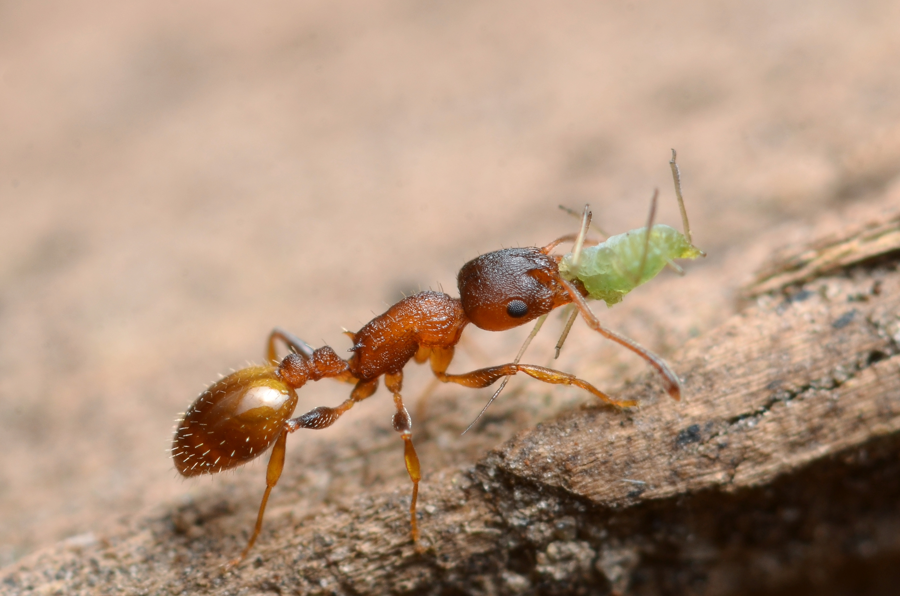 A tapeworm has been found to bestow the gift of a long, lazy life on a species of Temnothorax ant ... but it's not all good news