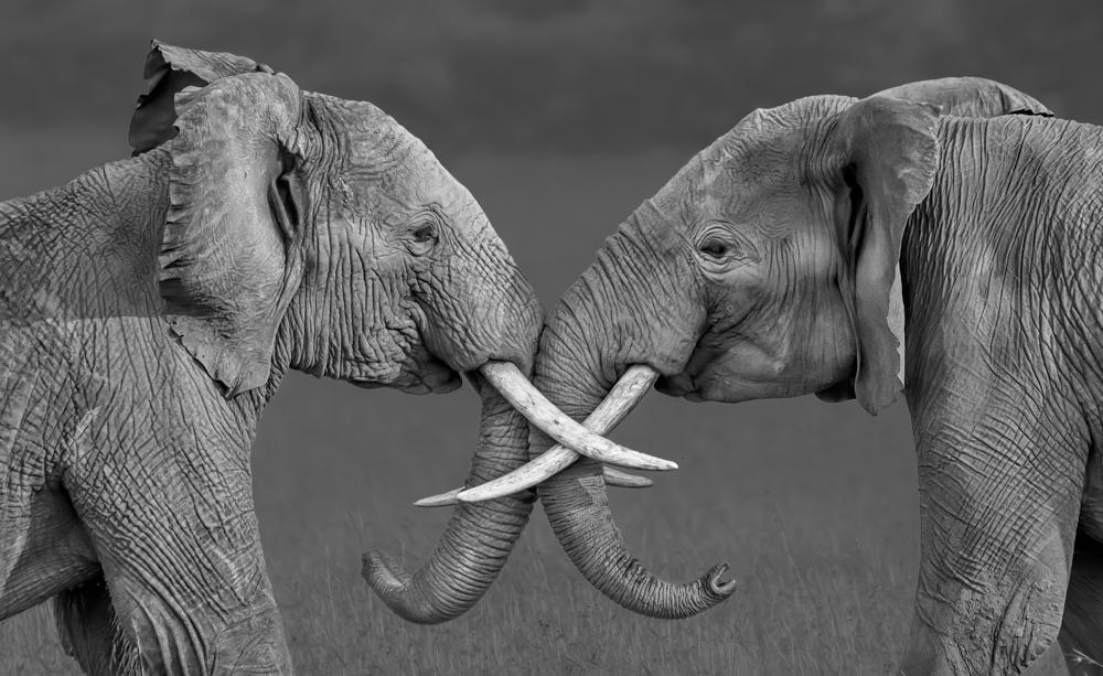 Nominee, Wildlife, Amateur. 'Compare', Kenya