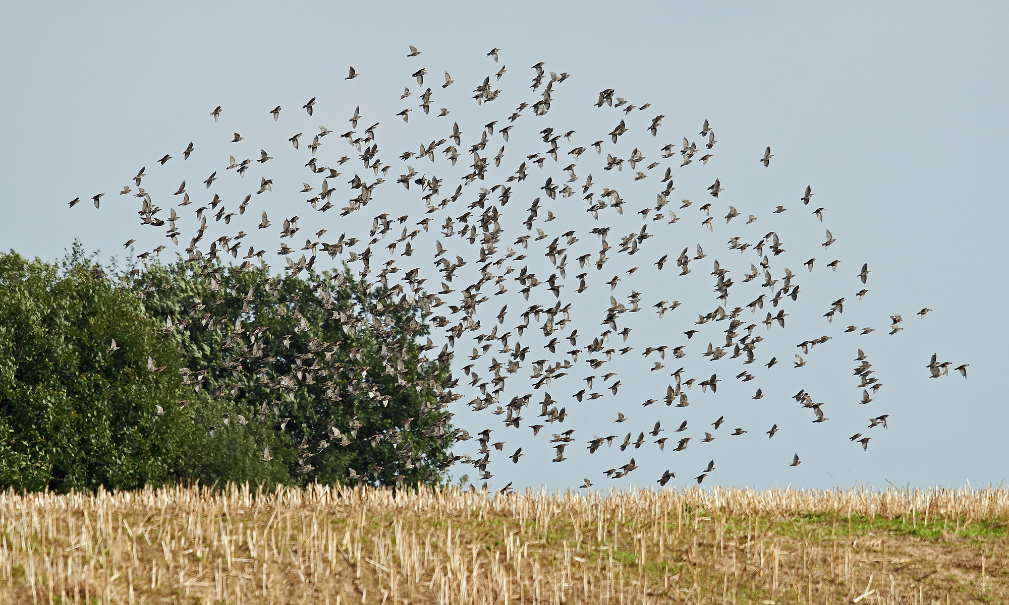 Laser scarecrows helps keep cornfields clear of bird pests