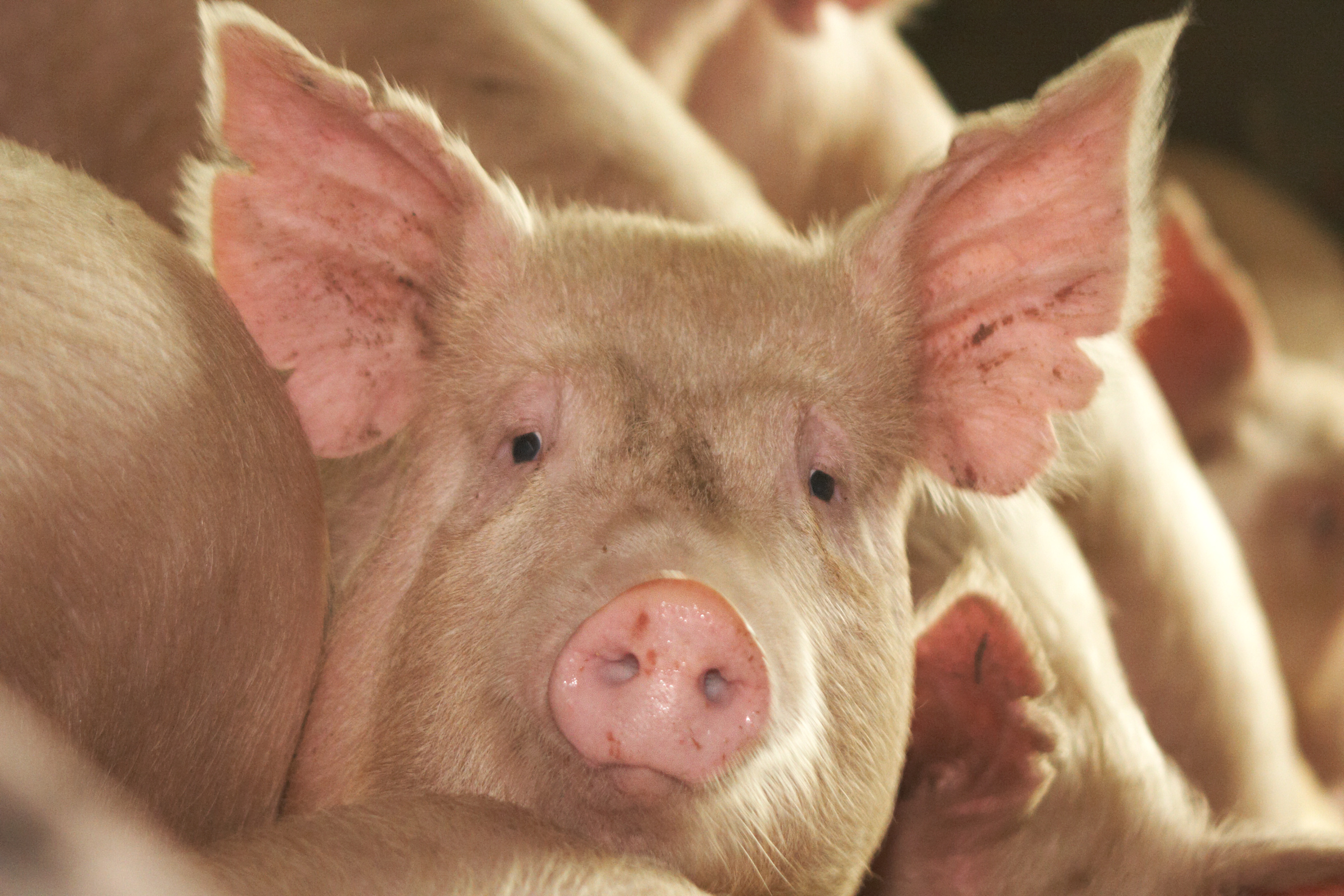 Live-cell pig skin successfully used to treat human burn wound