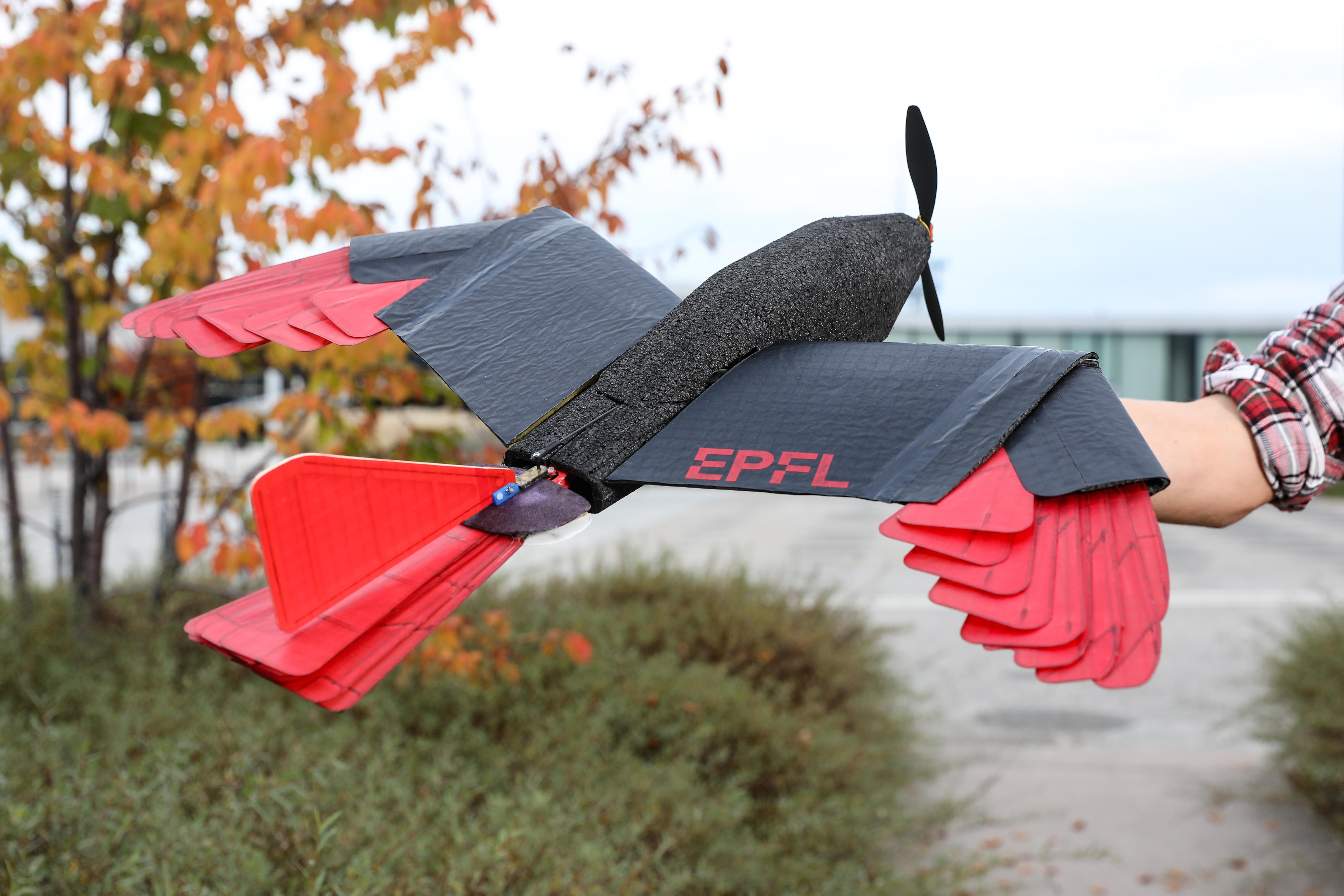 The new drone developed at EPFL, inspired by the goshawk raptor