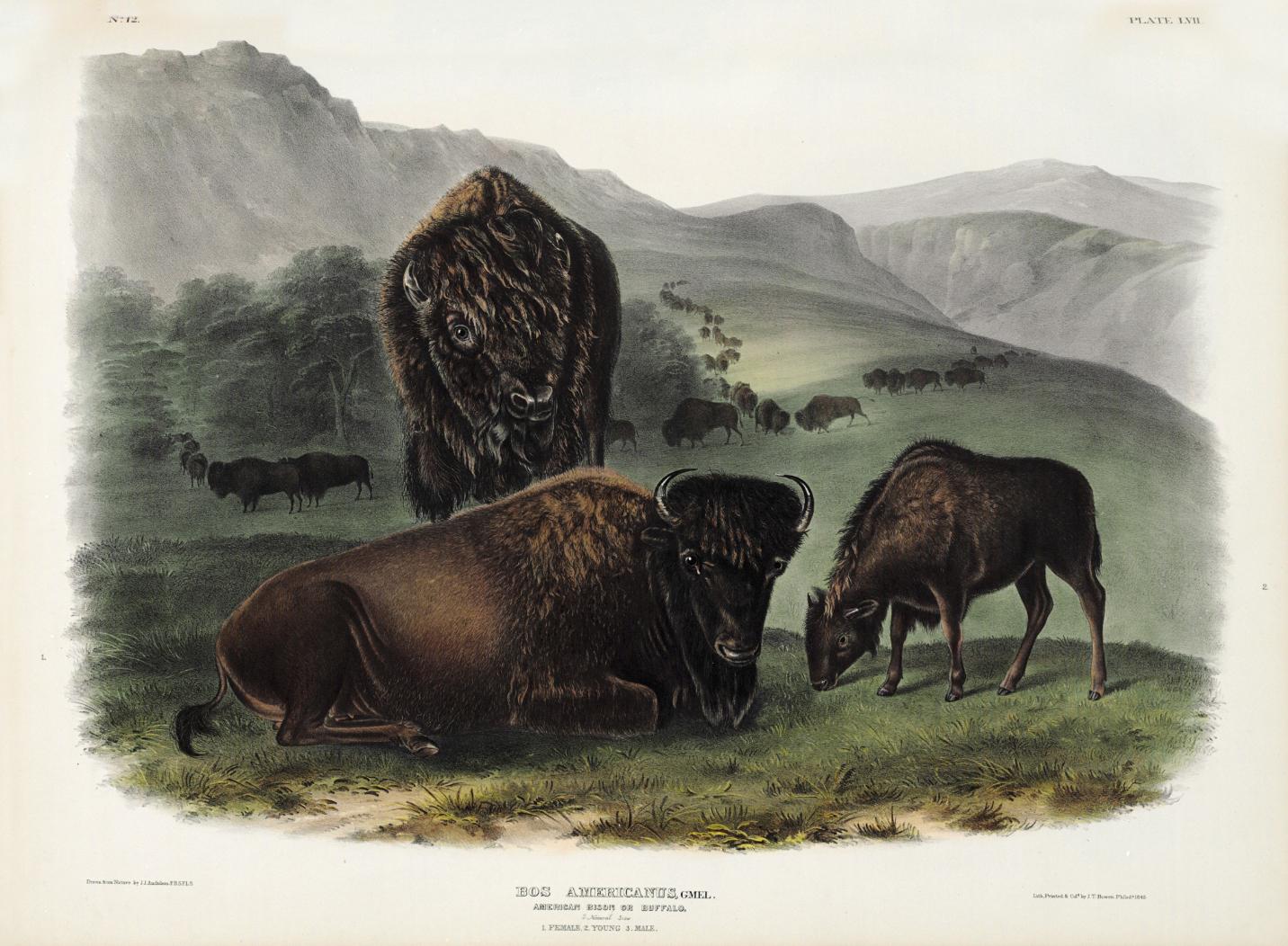 VRS Heart Beat Line ANIMAL Bison American Plains Buffalo Native CAR METAL DECAL