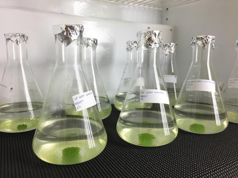 Algae gets enlisted to make wastewater safer