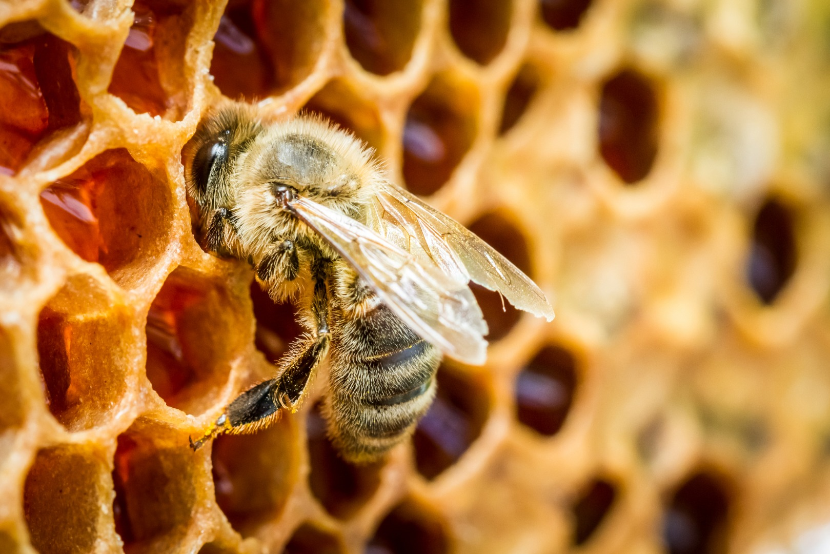 "Breeding bees with ""clean genes"" could help prevent colony collapse"