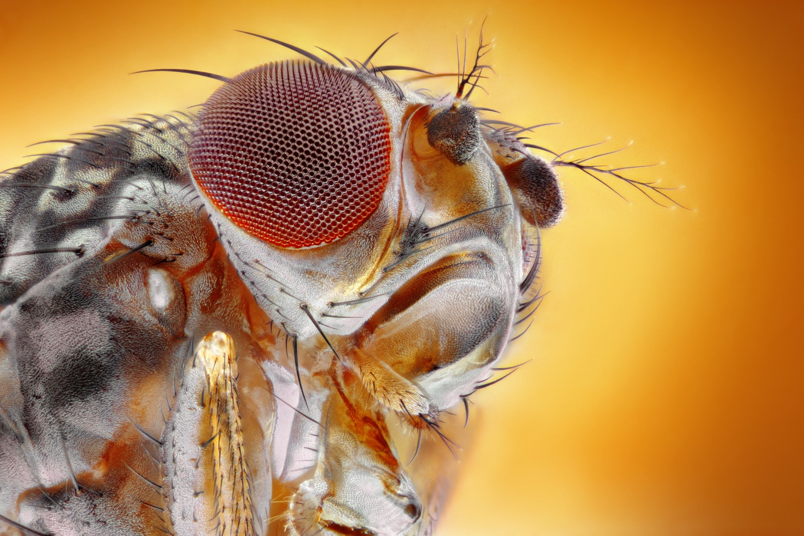 First evidence of chronic pain in insects points to a root cause in humans
