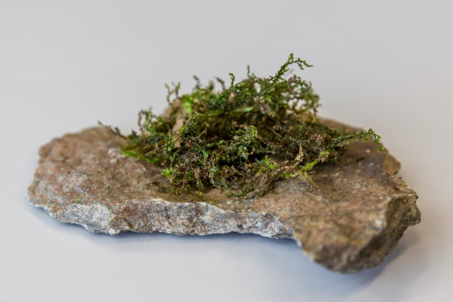 Rare moss contains marijuana-like compound with potentially superior medicinal effects