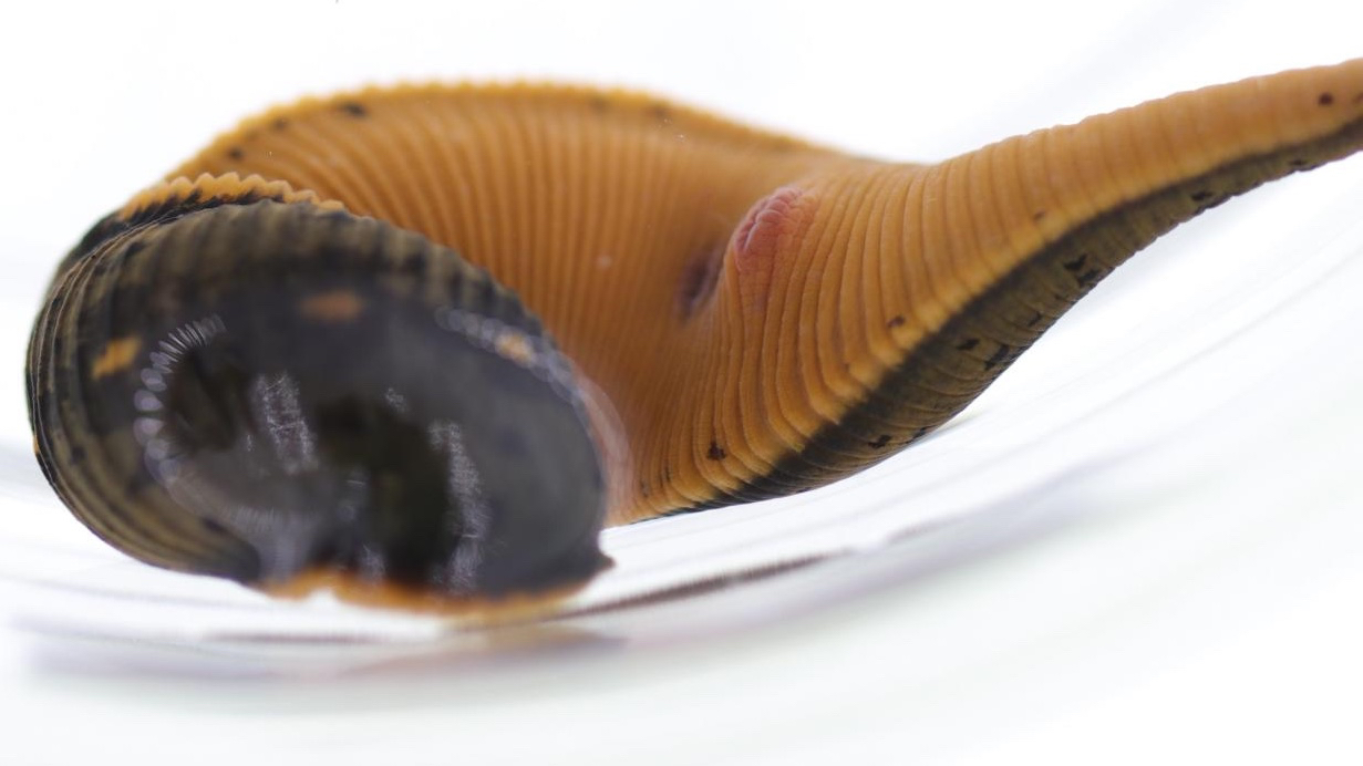 Newly-identified blood-sucking leech has been quietly living in American swamps for decades
