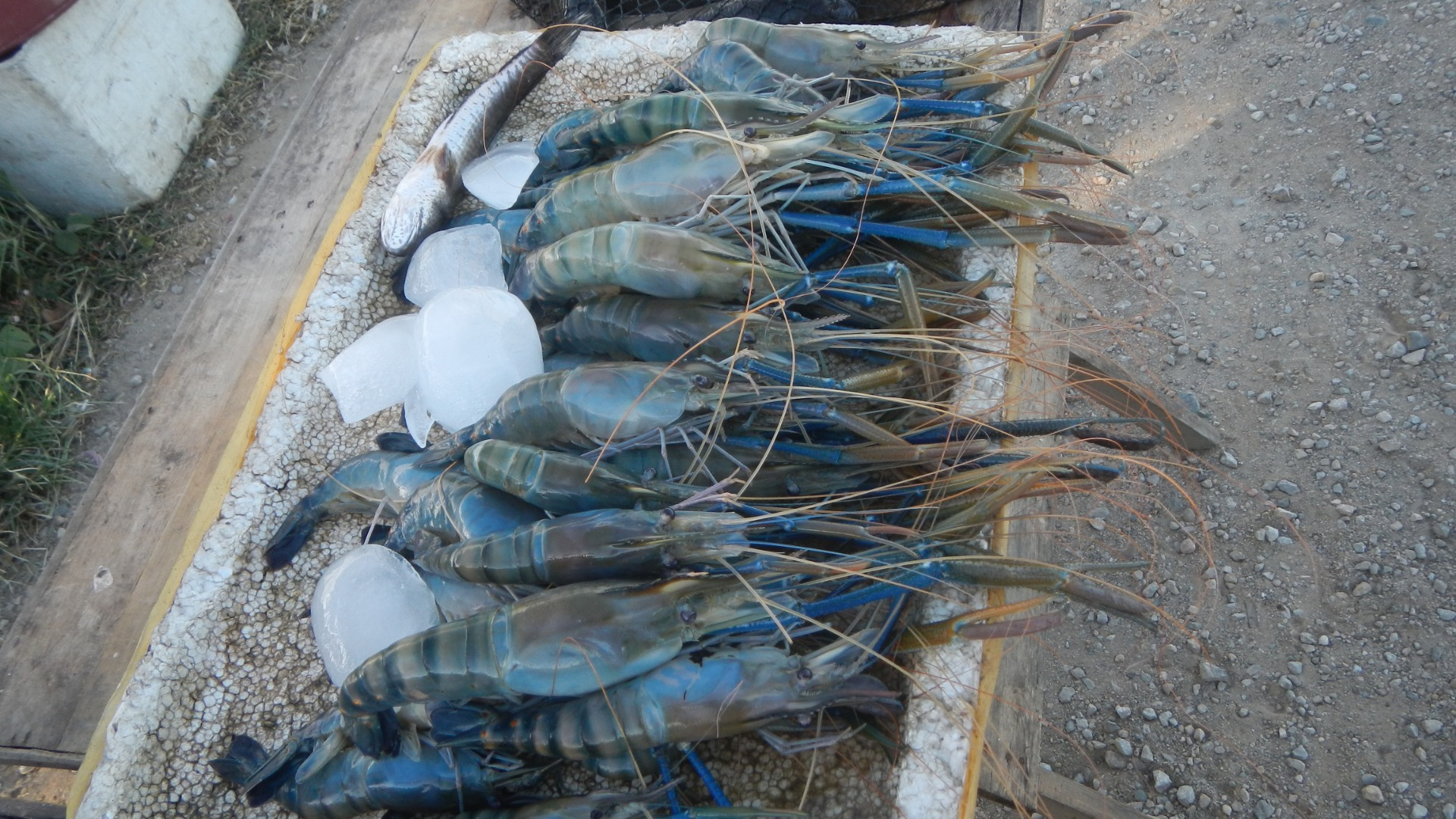 Prawn aquaculture could provide income – while stopping disease-spreading snails