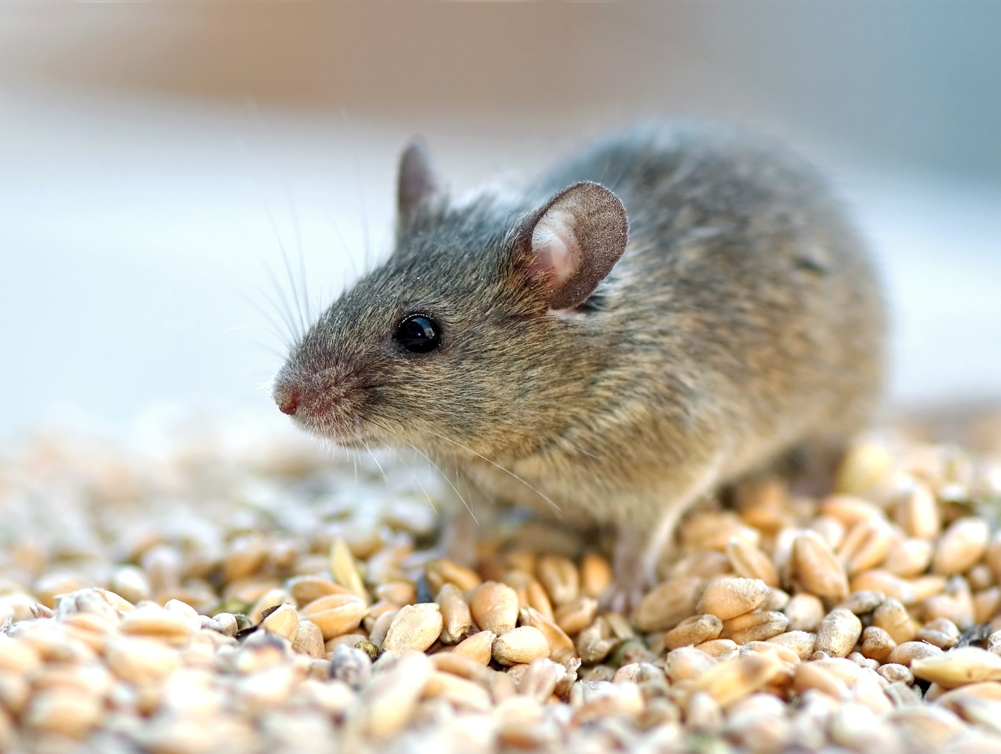 Protein from the blood of young mice found to extend lifespan of older mice