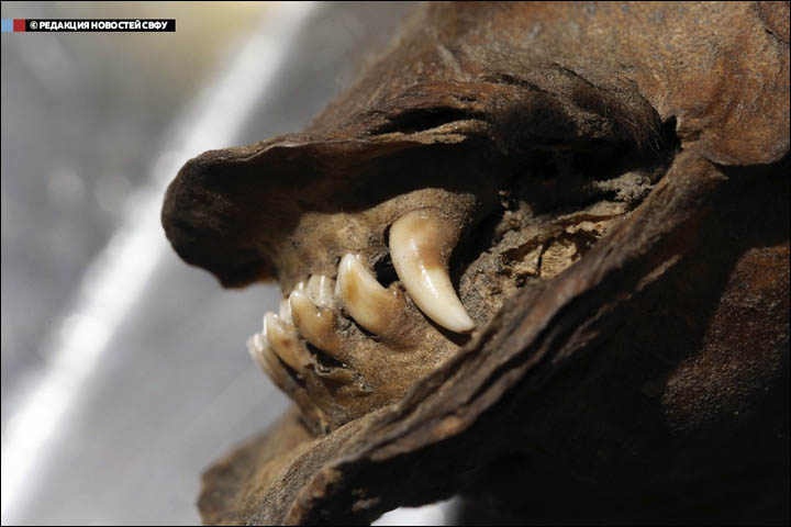 RNA recovered and sequenced from 14,000-year-old mummified wolf