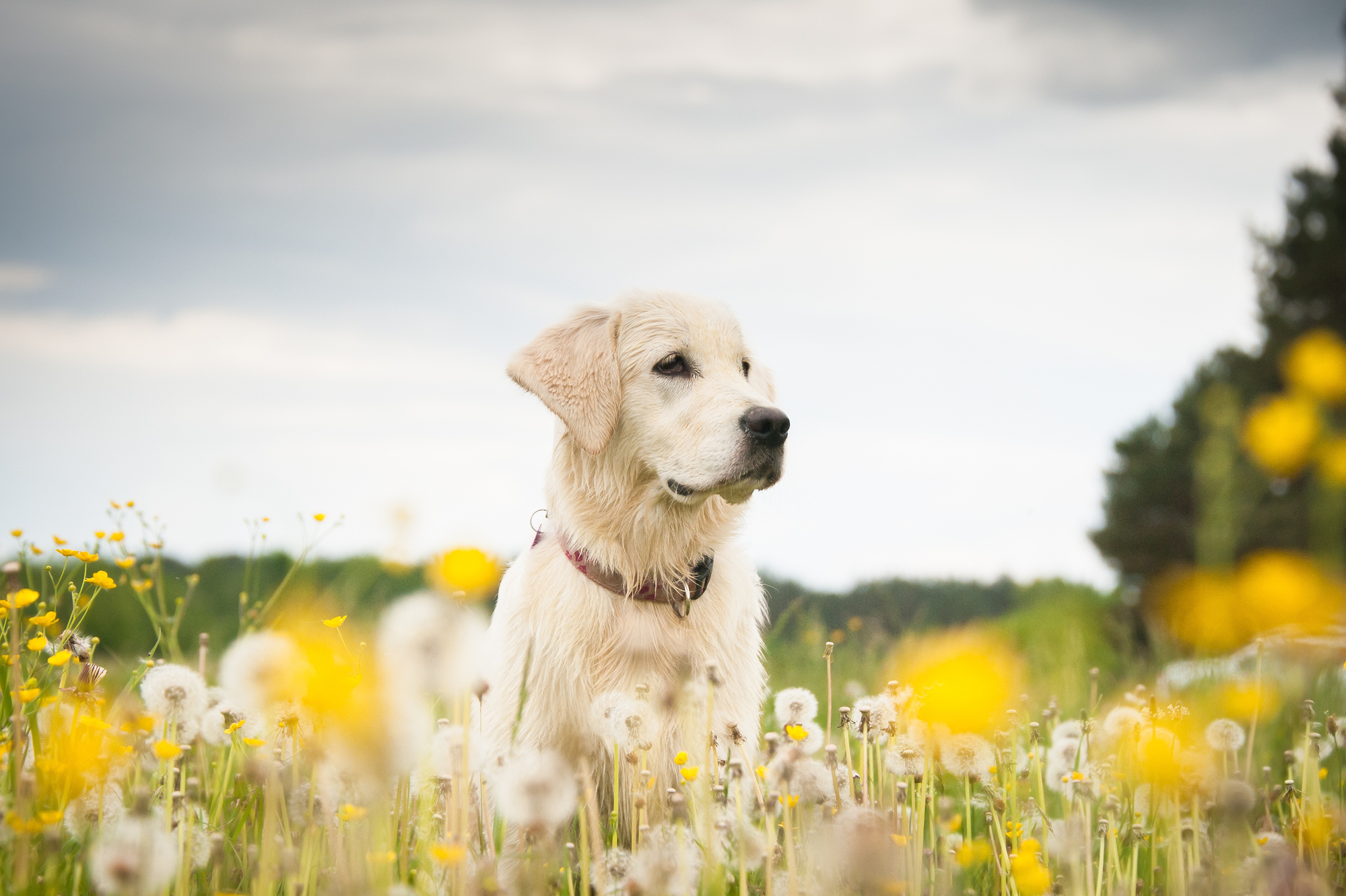 Scientists have demonstrated how a a dye can be used to light up breast cancer cells in dogs, with possible benefits for treatment in humans