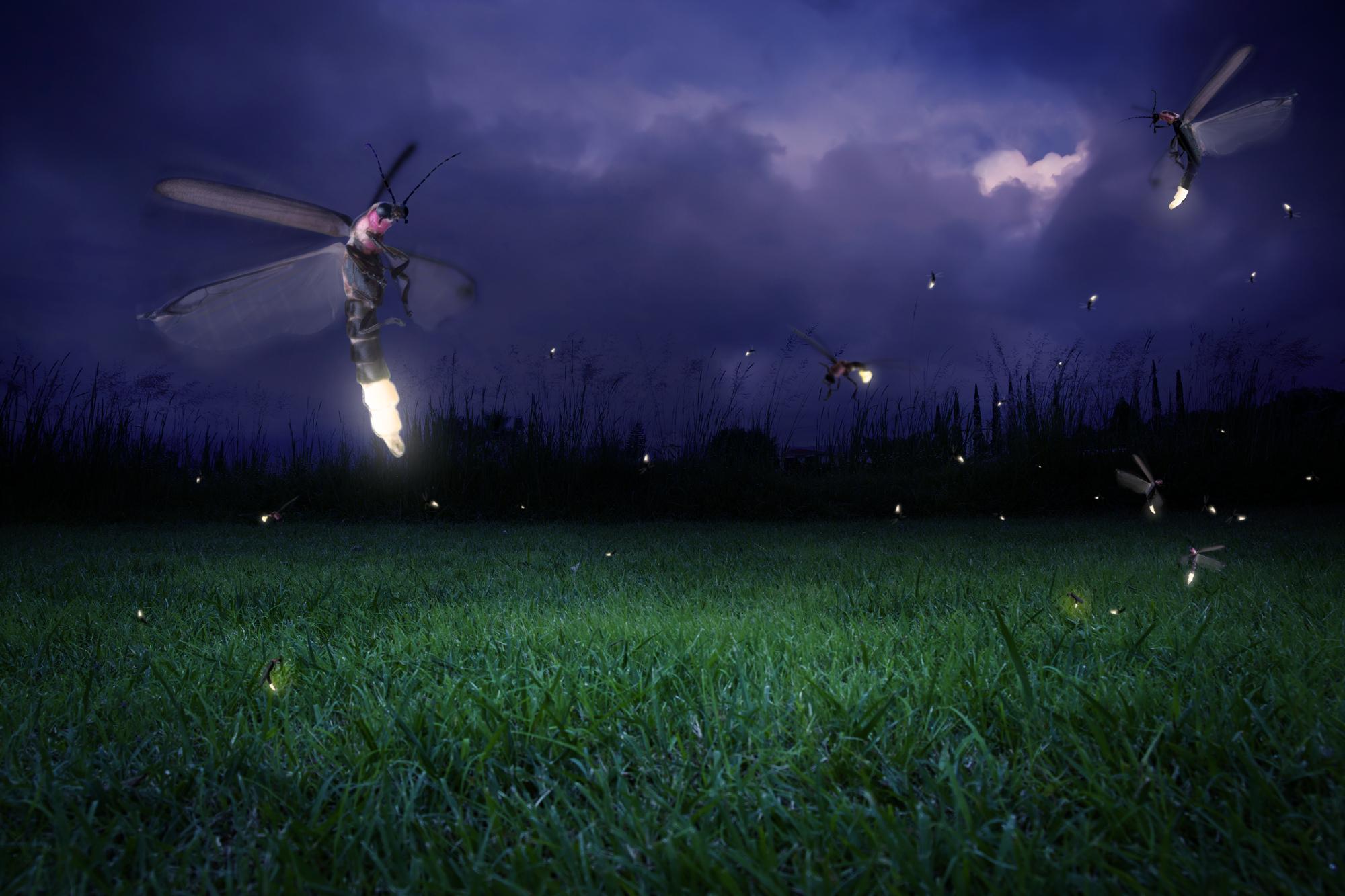 Fireflies may use a