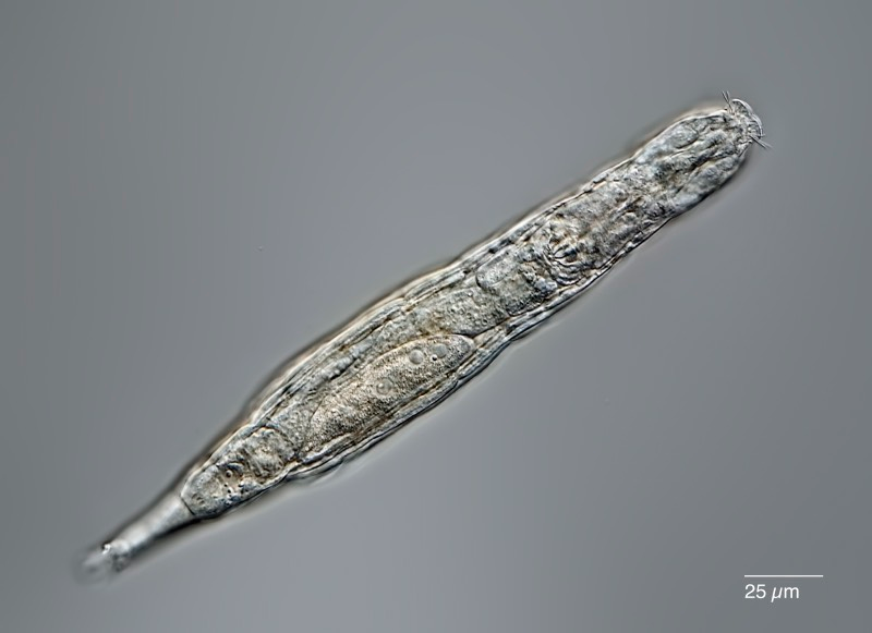 Bdelloid rotifers can survive being frozen for long periods by entering a state called cryptobiosis