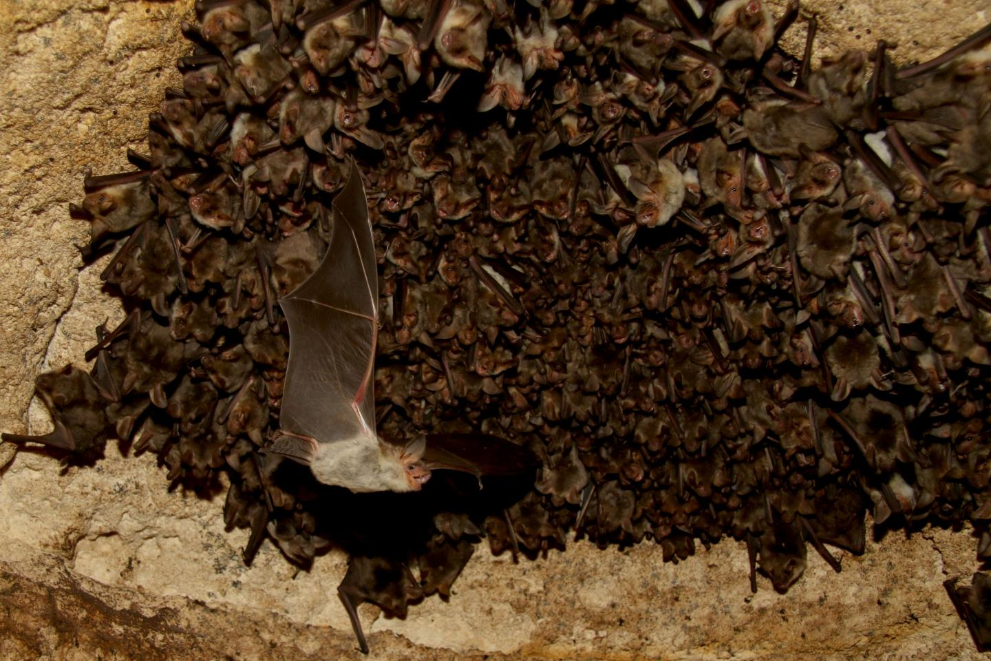 The testing was conducted on greater mouse-eared bats (Myotis myotis) from the Orlova Chuka cave in Bulgaria