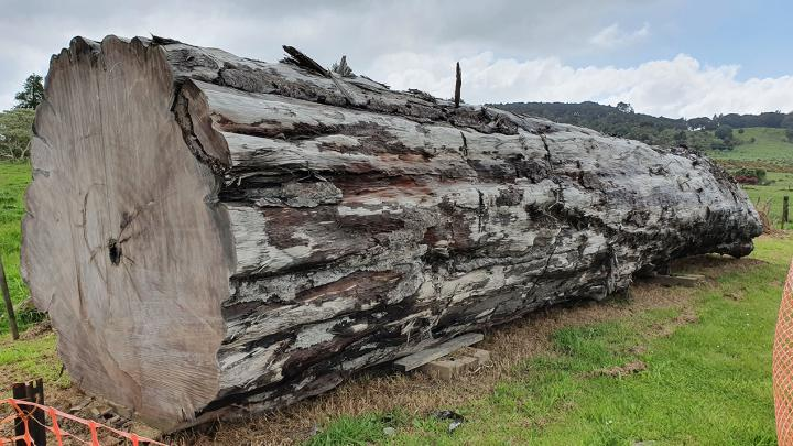 An ancient kauri tree log from Ng?wh?, New Zealand