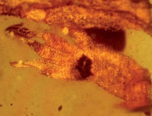The 100 million-year-old gecko, Crestaceogekko burmae, was found preserved in amber in Hukawng Valley