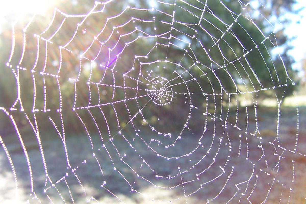 A study on the glue that holds spider webs together brings us closed to producing bioadhesives to replace existing petroleum-based products. (Photo: Wikipedia, released under CC by-sa)