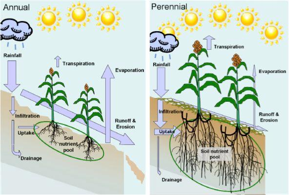 A diagram from the paper, illustrating the relative advantages of perennial grain crops