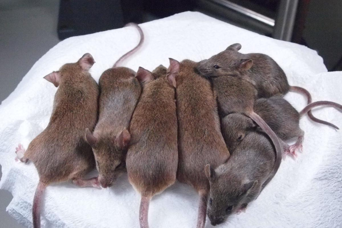 Mouse clones from the 24th and 25th generation of serial cloning (Photo: Riken)