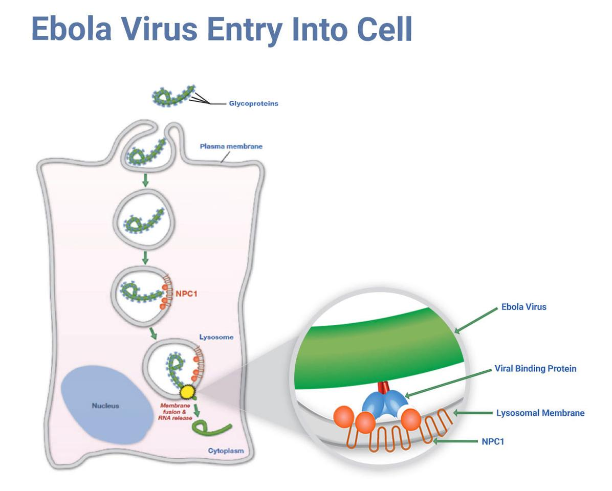 How the Ebola virus infiltrates a host cell