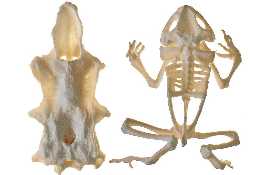 Models of part of a spiny dogfish skull, and a cane toad skeleton, are just the first 3D-printable anatomical models