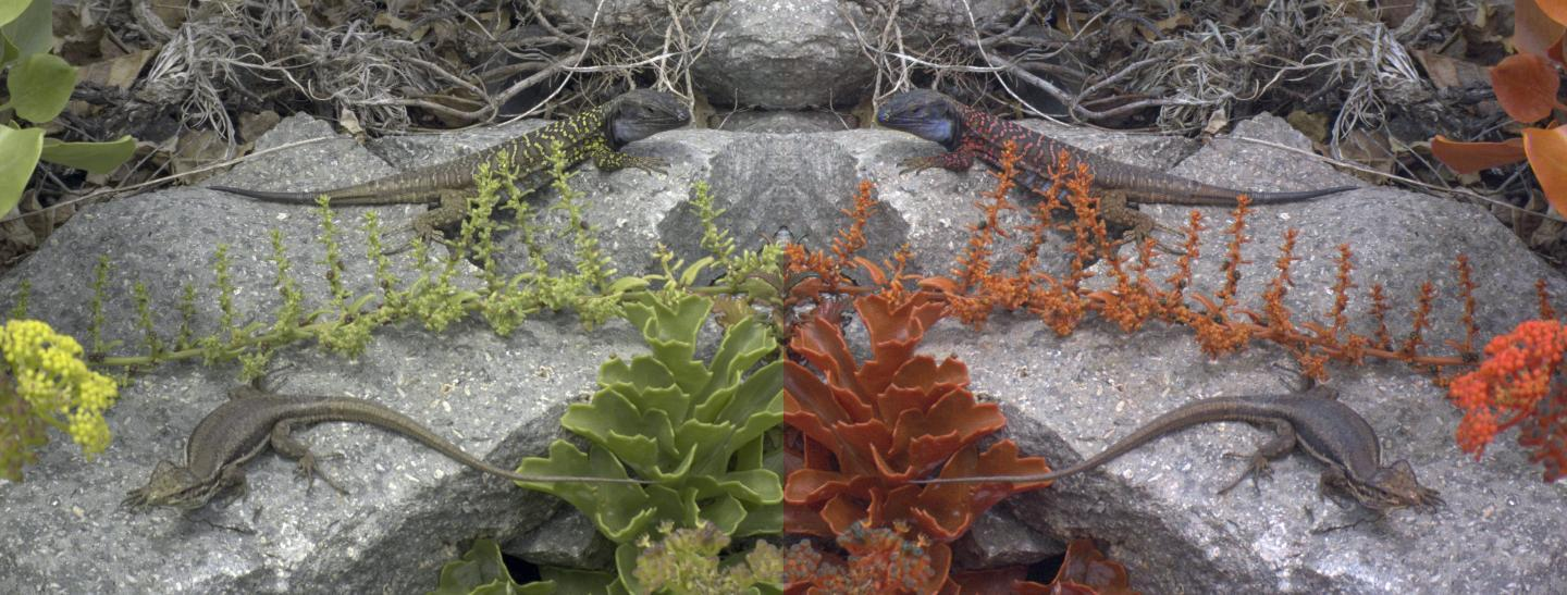 Mirrored images of a Tenerife lizard as seen by a human (left) and by another lizard (right)