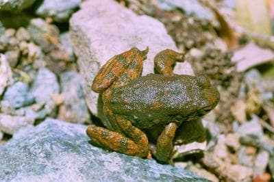 The skin of certain frogs, including this foothill yellow-legged frog, contain secretions that may lead to new antibiotics to fight infections that shrug off the effects of existing antibiotics. (Photo: Pierre Fidenci, CC)