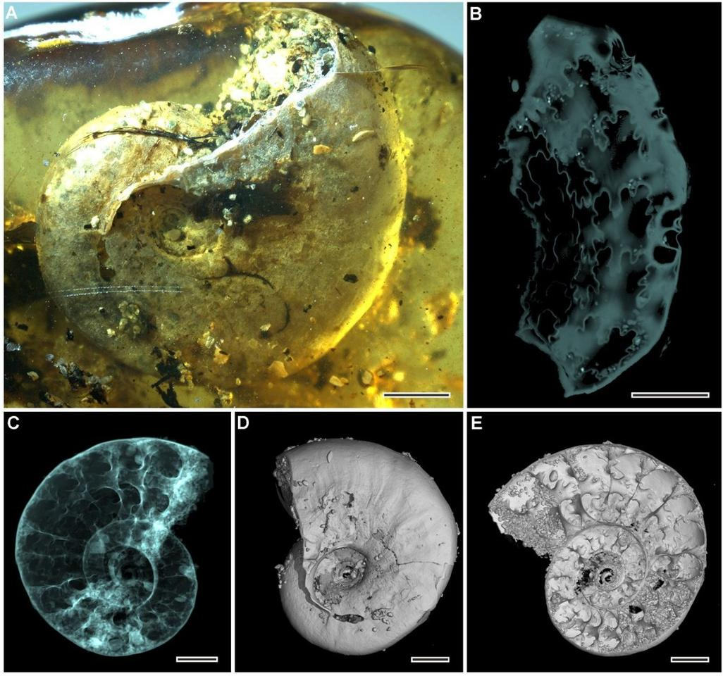 The ammonite shell as seen under a microscope (A), and various reconstructions from microtomography