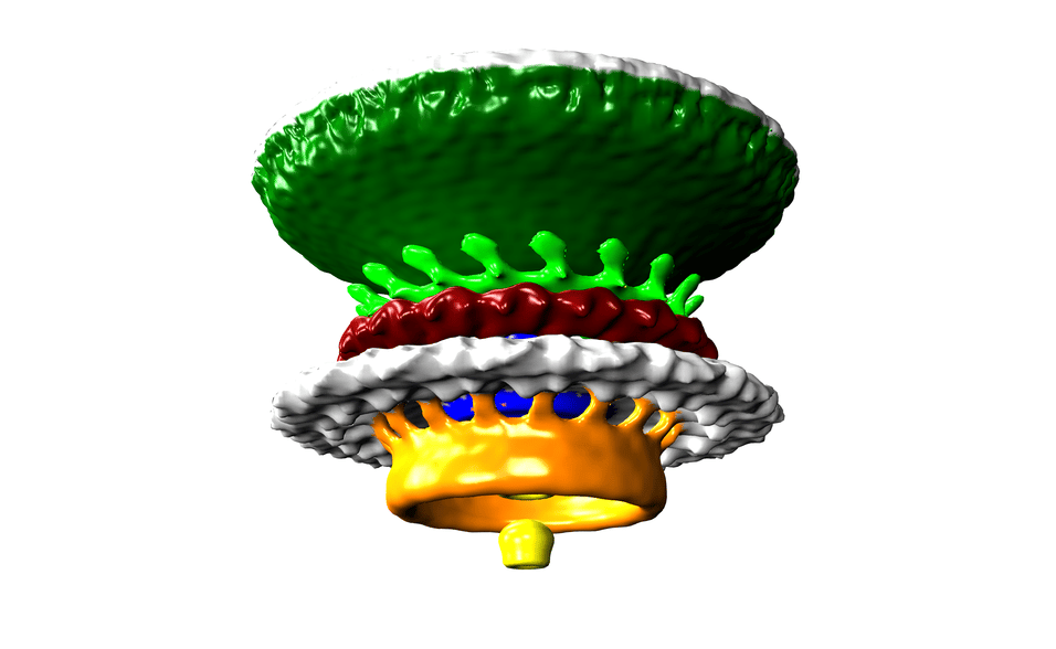 The engine that drives the flagellum of the Campylobactor bacteria, the most common bacteria that cause gastroenteritis worldwide