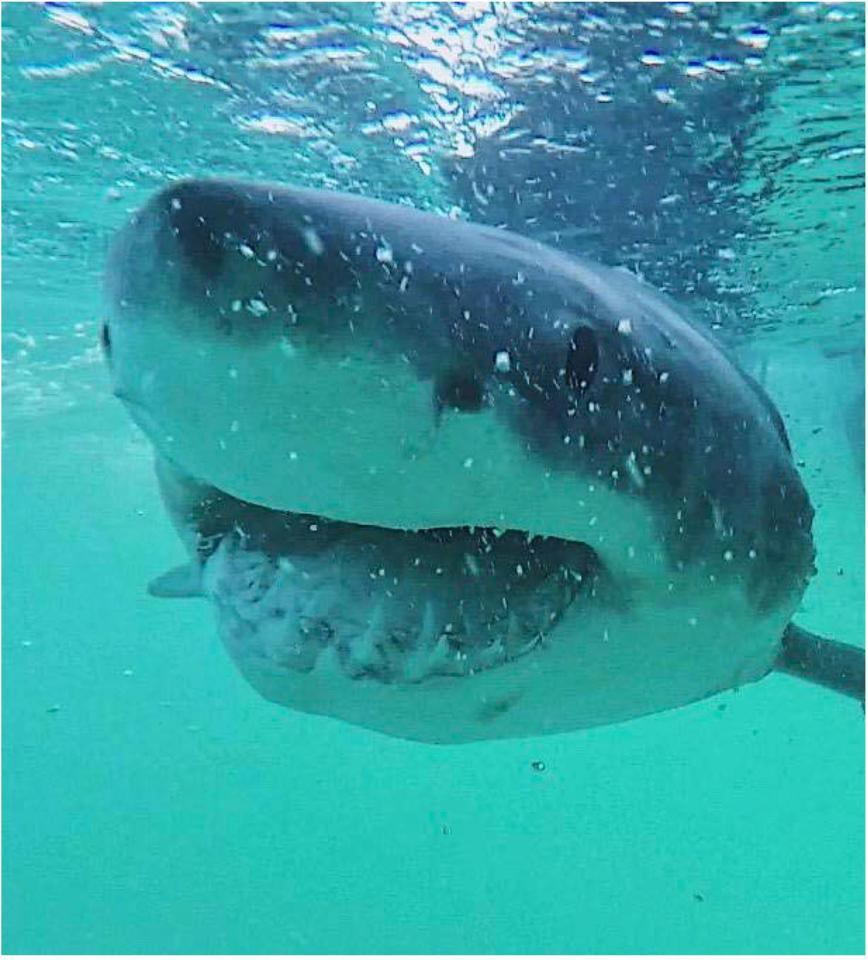 A great white shark in coastal waters off Australia