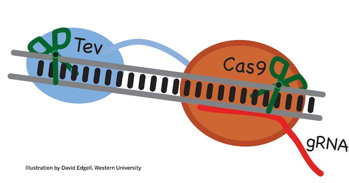 The new CRISPR enzyme, TevCas9, will be able to make cuts to DNA in two places at once