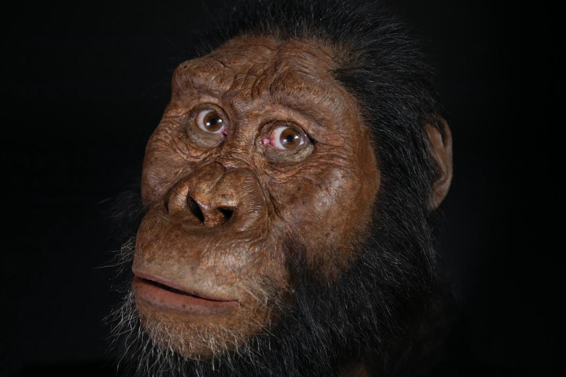 A facial reconstruction of Australopithecus anamensis, based on a newly found, almost-complete skull