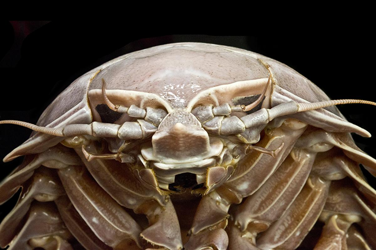 "A close-up of Bathynomus raksasa, a new species of ""supergiant"" isopod"
