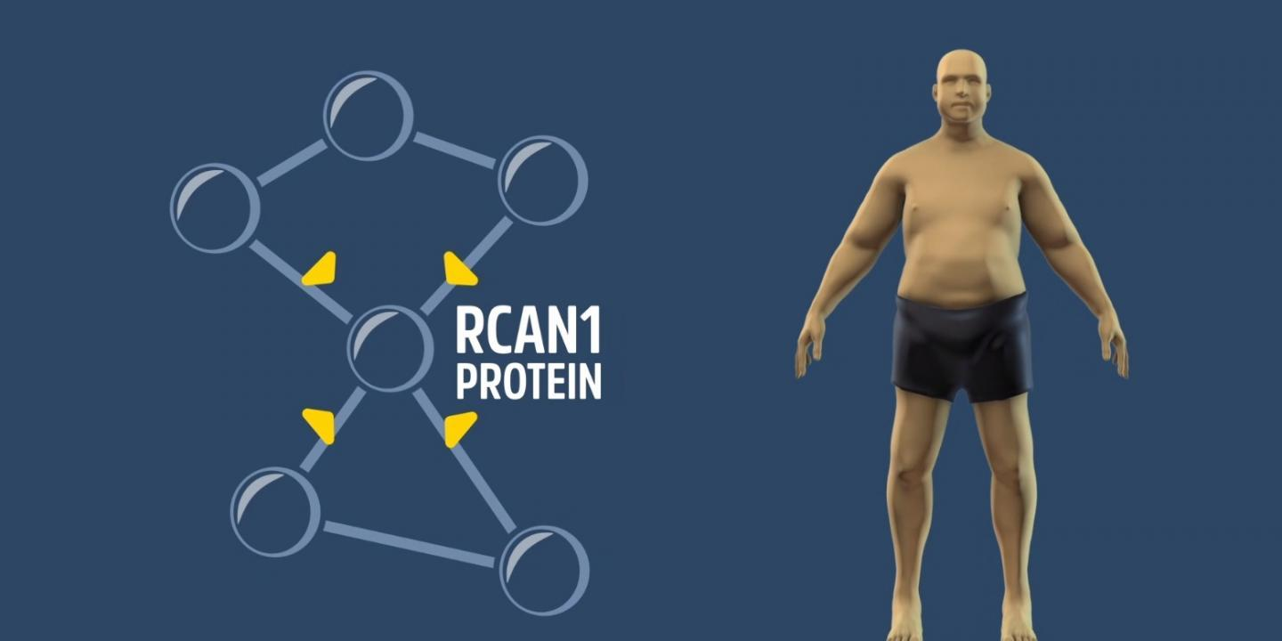 Future medications may be able to treat obesity by silencing a gene known as RCAN1 (Regulator of Calcineurin1)