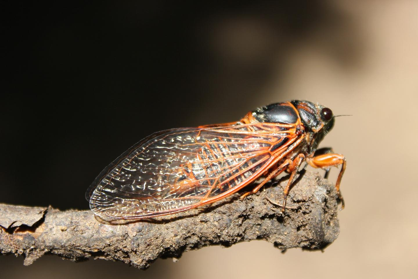 Cicada wings – they're good for more than just killing bacteria