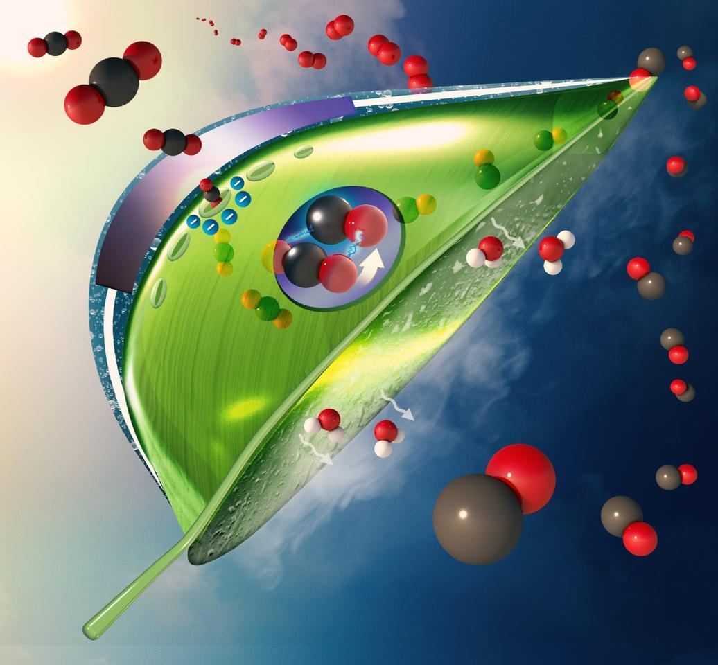 An illustration of the new artificial leaf design, showing how carbon dioxide (red and black balls) enter the leaf at the top as water evaporates out the bottom. Once inside, the artificial photosynthesis system (purple circle) converts the CO2 to CO