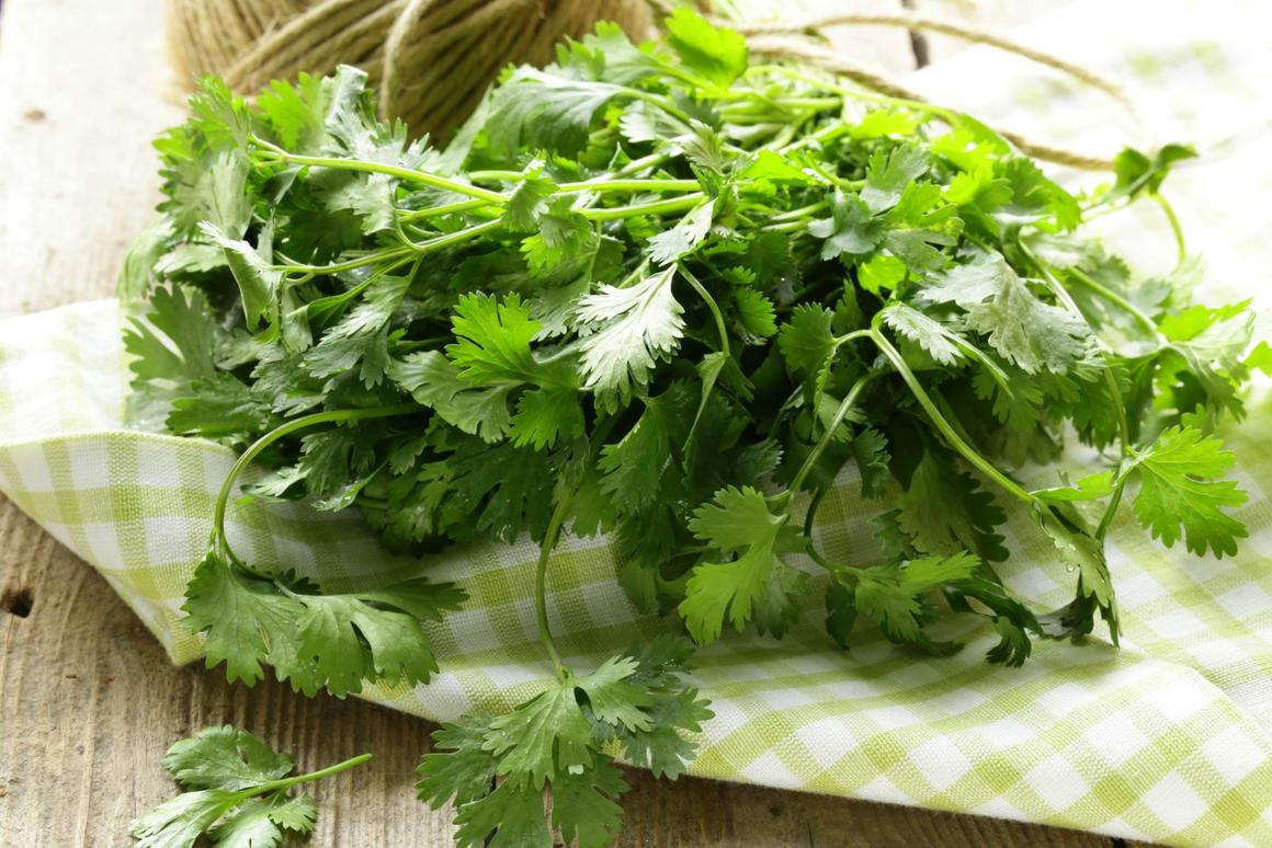 Researchers isolated a specific molecule in cilantro that was shown to underpin the anticonvulsant properties previously associated with the herb