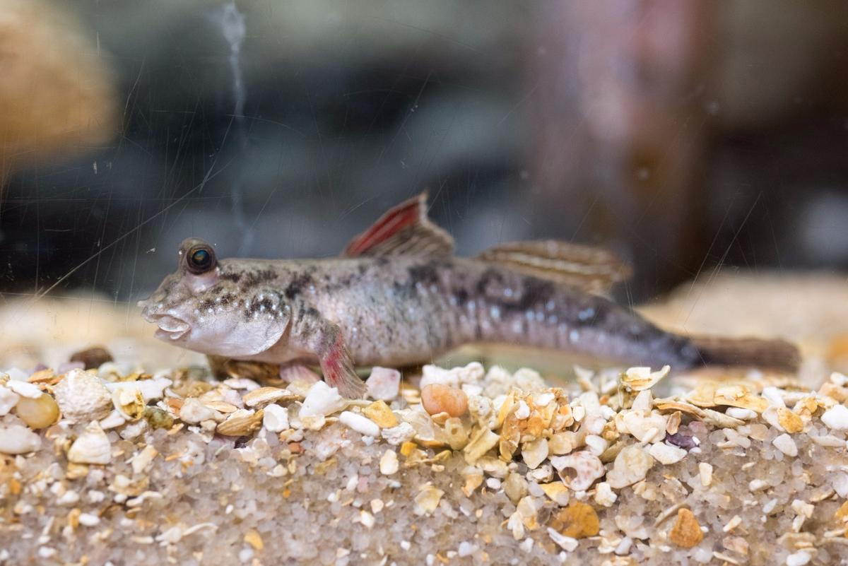 An actual mudskipper, which uses its tail for more than just swimming