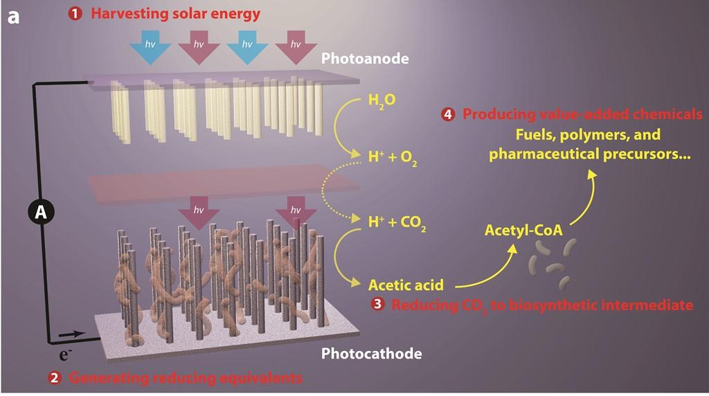 The process turns water, sunlight and CO2 into useful chemicals (Image: LBNL)