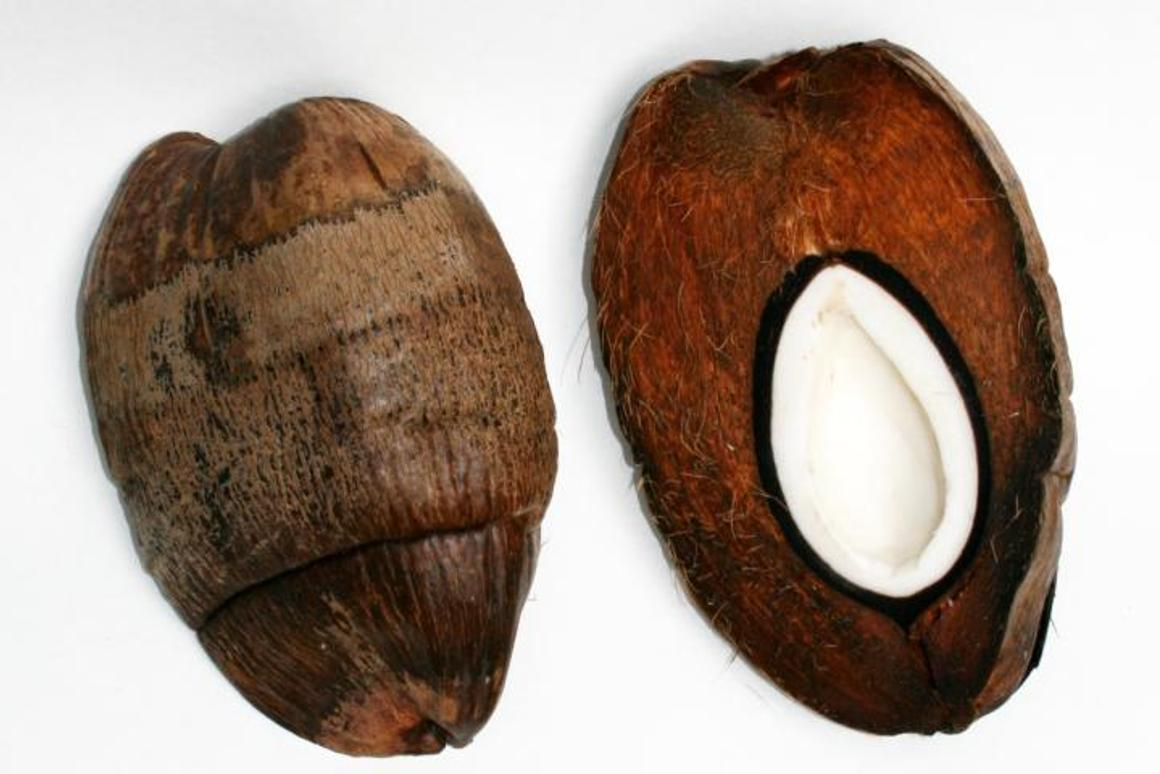A cross-section of a coconut (right), showing its exocarp, mesocarp, endocarp and seedling