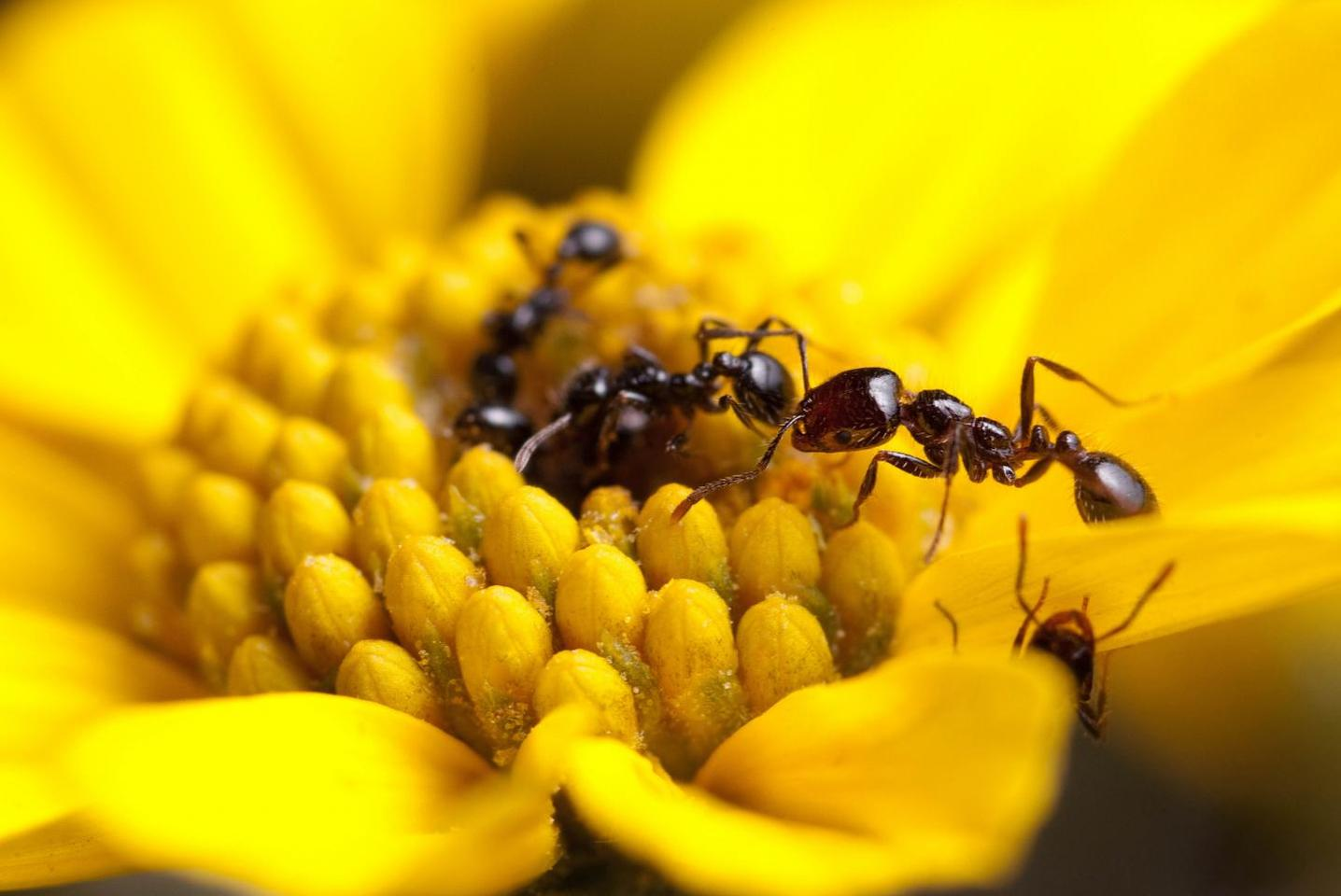 The desert fire ant, Solenopsis xyloni, was found to produce some of the strongest antimicrobials measured in social insects
